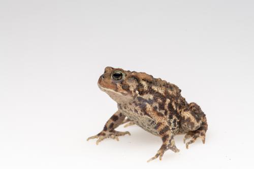 Eastern American toad.