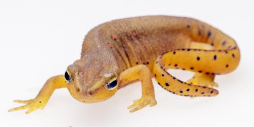 Red-Spotted Newt.