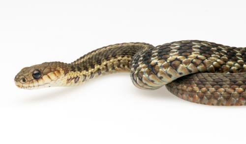 Maritime Garter Snake.