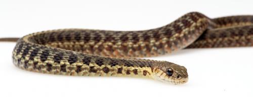 Nova Scotia Snake.