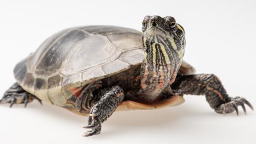 Eastern Painted Turtle.