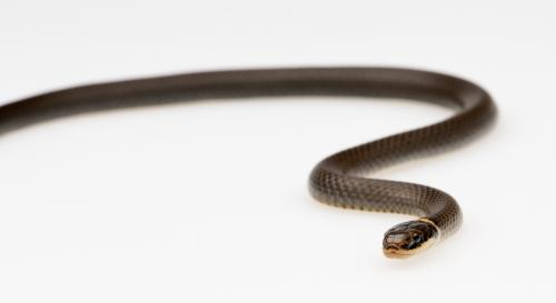 Northern Ring-Neck Snake.