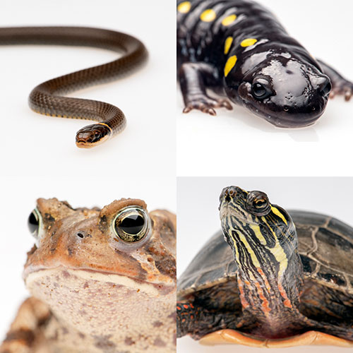 Four images of Reptiles and Amphibians. Ring neck snake. Yellow spotted salamander. Toad. Painted turtle.
