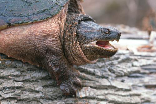 Common snapping turtle. Image credit: Ducks Unlimited Canada.