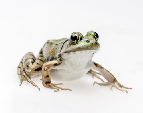 Close up of a frog.