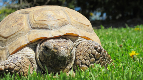 Gus the Gopher Tortoise