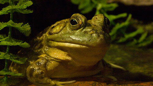 Museum-of-Natural-History-frog