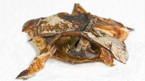 Complete juvenile turtle - Milford Gypsum Quarry